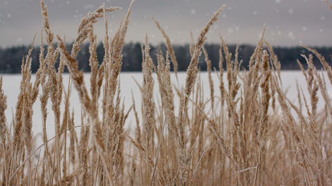 Field Of Winter Wheat With Snowflakes stock footage