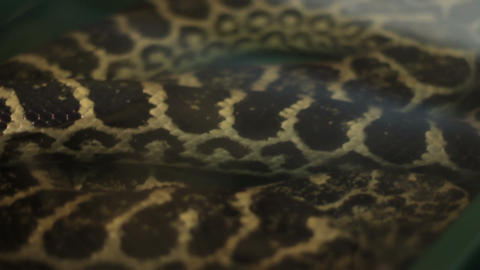 Anaconda Snake Footage