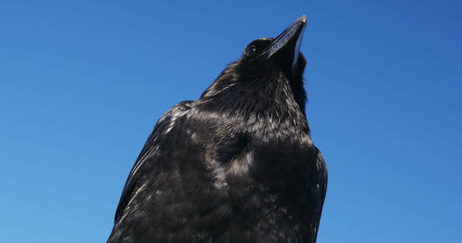 4K, Brilliant Closeup Of A Raven stock footage