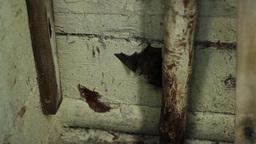 Bat Hanging Upside Down Footage