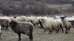 Late Autumn Herd of Sheep Footage