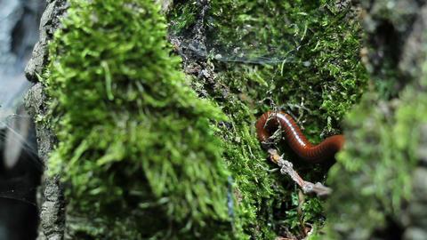 Milipede on Tree Footage