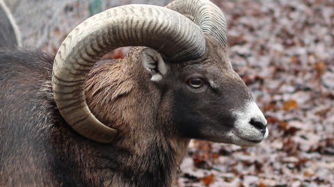 Mouflon Sheep Footage