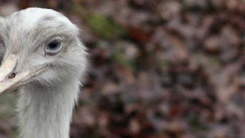 Ostrich Head Footage