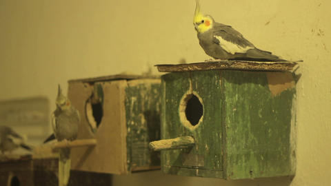 Parakeets and Wooden Cages Footage