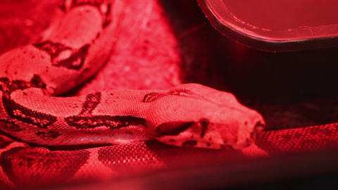 Red Light Python stock footage
