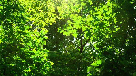 Sunshine through the trees. Cottonwood fluff flyin Footage