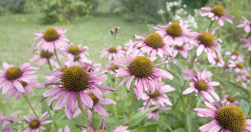 A bee transferring on every coneflower Stock Video Footage