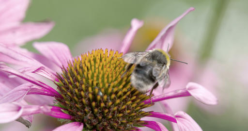 A bee on the top of the coneflower Stock Video Footage