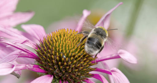 A bee on the top of the coneflower Footage