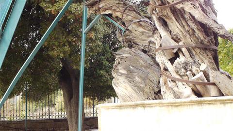 Mamvre or Abraham Oak in Hebron, Palestine Footage