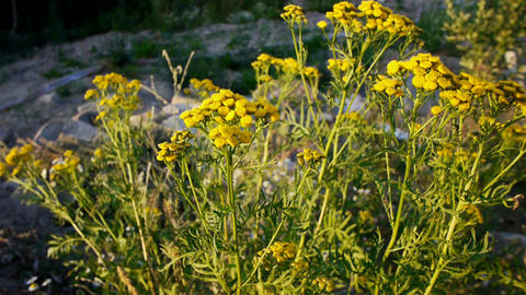 Tansy flowers closeup view Footage