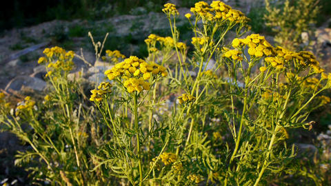 Tansy flowers closeup view Stock Video Footage
