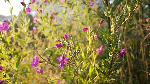 Impatiens glandulifera pink flowers Stock Video Footage