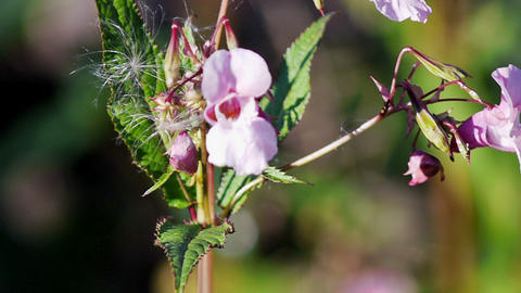 Impatiens glandulifera pink flowers Footage