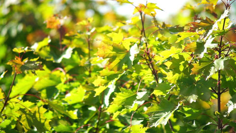 Maple tree leaves Footage