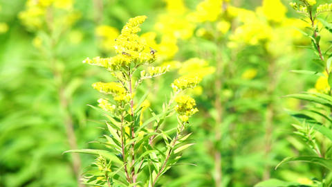 Yellow flowers on summer meadow Stock Video Footage