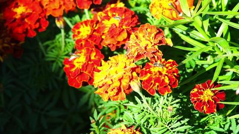 Bee on orange marigold flowers Footage