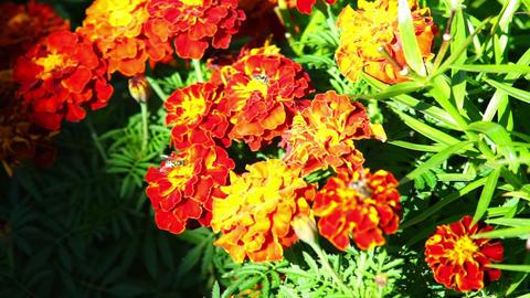 Bee on orange marigold flowers Stock Video Footage