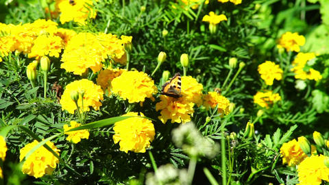 Butterfly on yellow marigold flowers Stock Video Footage