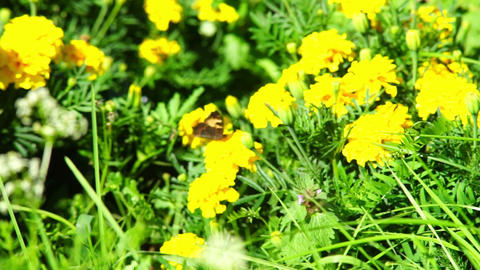 Butterfly on yellow marigold flowers Footage