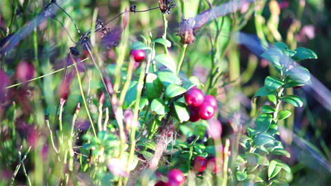 Cowberry bush Stock Video Footage