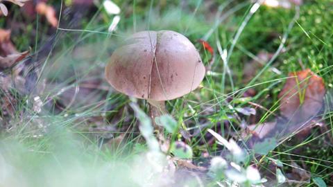 Brown cup or birch boletus - eadible mushroom Stock Video Footage