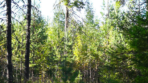 Forest panoramic view Stock Video Footage