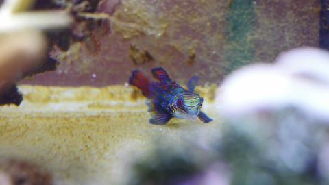 Mandarin fish in coral reef Stock Video Footage