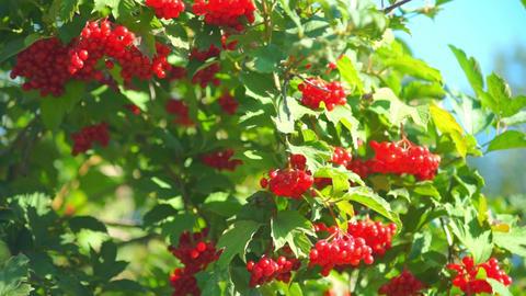 Guelder rose (Viburnum opulus) berries closeup Footage