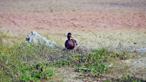 Duck walking and eating grass Stock Video Footage