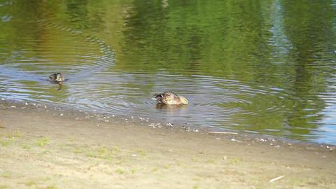 Ducks swim in the river Footage