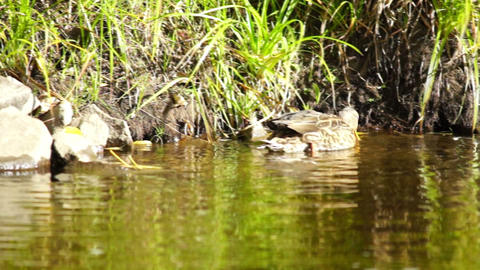 Hunting scene of duck on forest lake Stock Video Footage