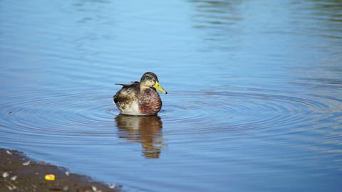 Young duck on water in summer day Stock Video Footage