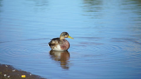 Young duck on water in summer day Footage
