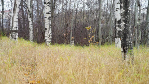 Dry grass field and birches in autumn park Stock Video Footage