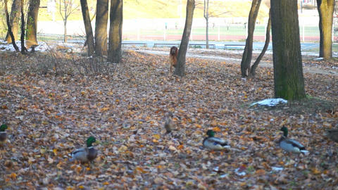 Dog watching ducks in autumn forest Stock Video Footage