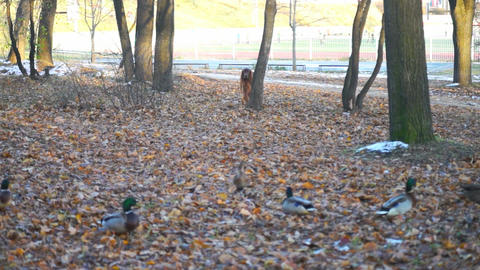 Dog watching ducks in autumn forest Footage