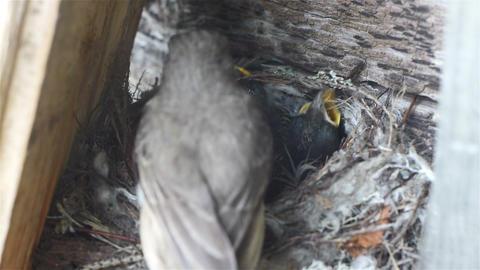 Forest lark bird feeding nestlings in the nest, wi Footage