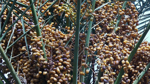 Date-palm With Yellow Fruits, Close-up stock footage