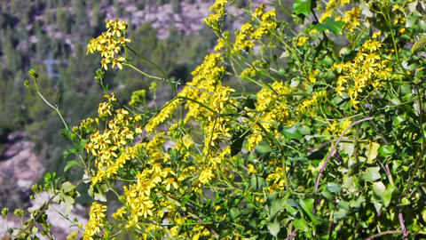Blooming tree brunches with yellow flowers Stock Video Footage