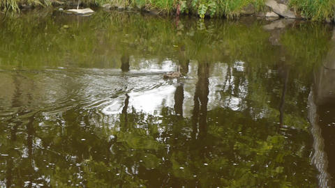 Ducks swim in the river Stock Video Footage