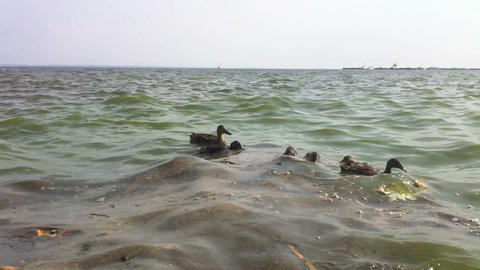 Ducks swim in the dirty water Footage