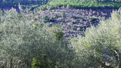 Olive trees in Holy Land Footage