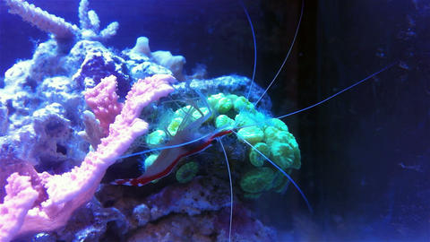 Doctor shrimp on a coral reef Footage