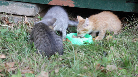 Street kittens eat a forage from the bowl standing Footage