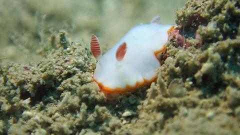 海蛞蝓 Sea Slug 海 Taiwan stock footage