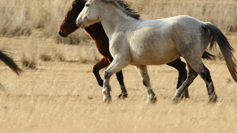 4K UHD Herd of Horses Runs Through the Autumn Steppe Footage