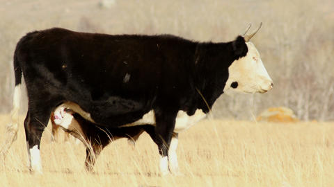 4K UHD Motley Cow and Calf in the Autumn Steppe Footage