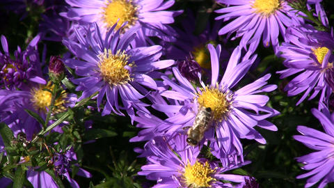 Blue flower with bee Stock Video Footage